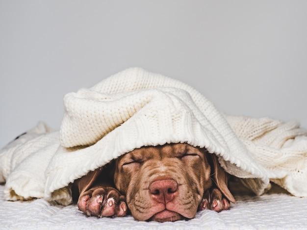 Charmante, schattige puppy van bruine kleur. close-up, binnen. studio foto. concept van zorg, onderwijs, gehoorzaamheidstraining, het grootbrengen van huisdieren