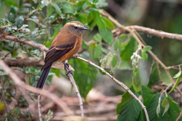Chat-tiran met zwarte rug (fumicolor ochthoeca) die vreedzaam op een tak rust