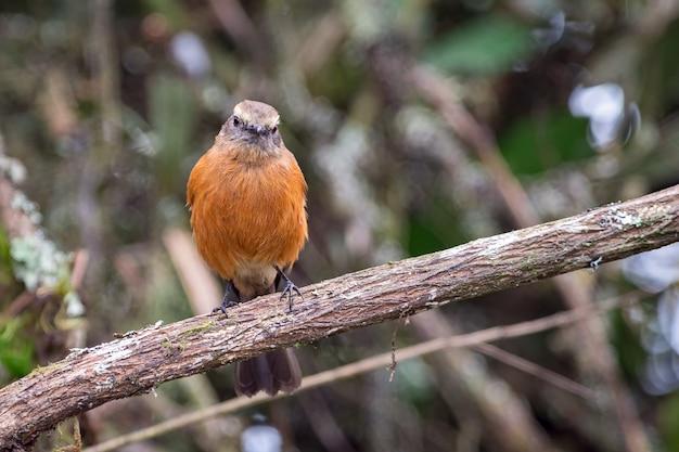 Chat-tiran met zwarte rug (ochthoeca fumicolor) die recht vooruit staart terwijl hij op een boomtak zit