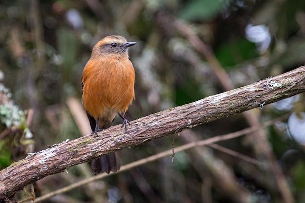 Chat-tiran met zwarte rug (ochthoeca fumicolor) naar rechts kijkend terwijl hij op een boomtak rust