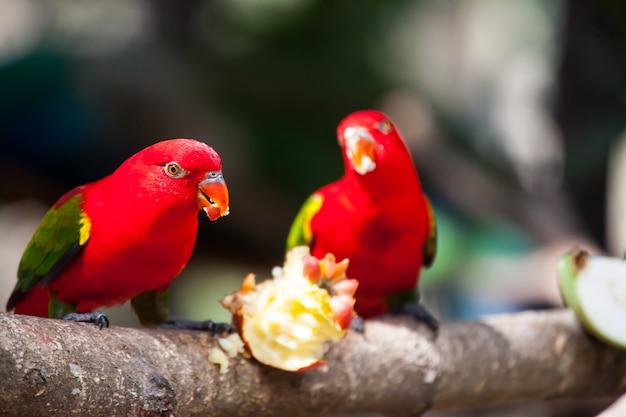 Chattering lory, kleurrijke vogel