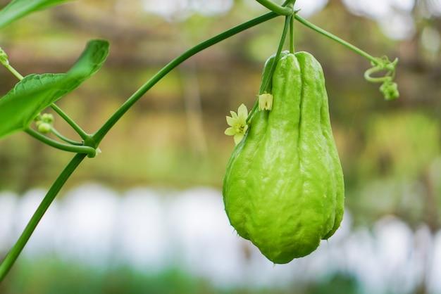 Chayote sechium edule fruit - verse chayote-plant in de moestuin
