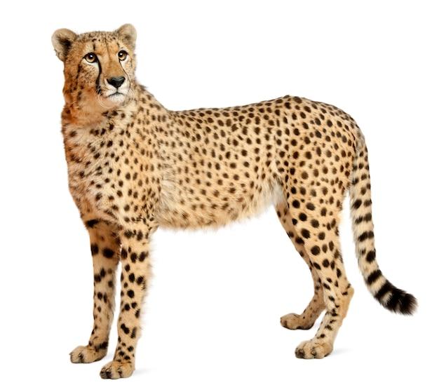 Cheetah, acinonyx jubatus, 18 maanden oud, staand