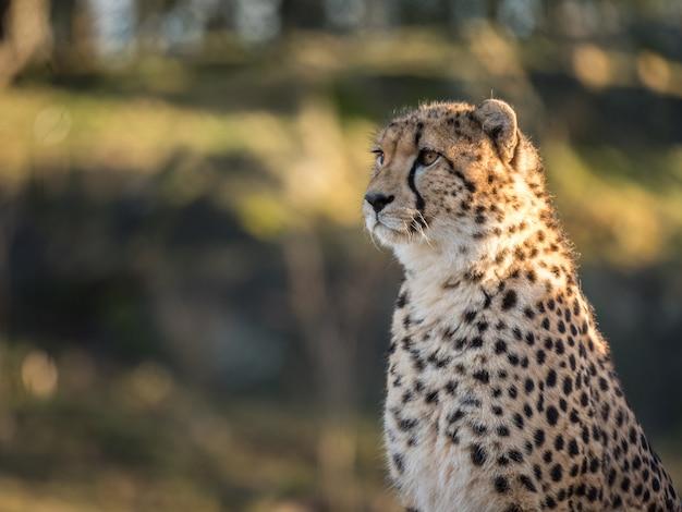 Cheetah, acinonyx jubatus, naar links kijkend