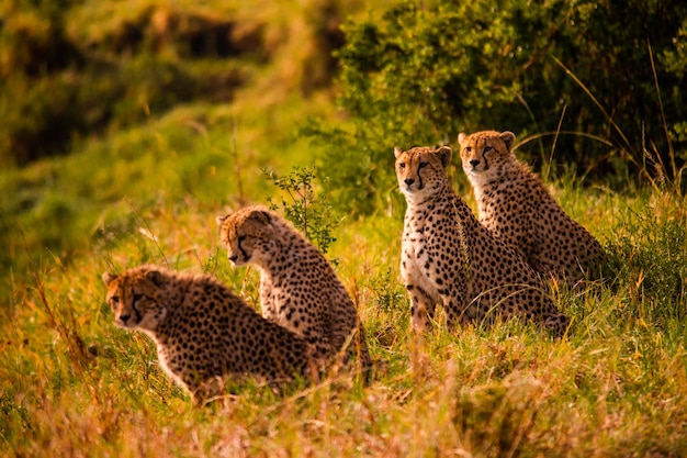 Cheetah in het nationale reservaat van masai mara