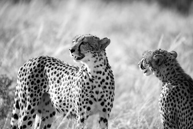Cheetah-paar zit in het gras en kijkt in de verte