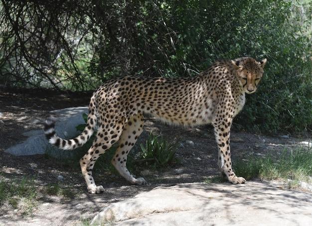 Cheetah staande op een platte rots met zijn hoofd naar beneden