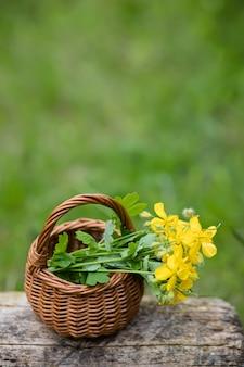 Chelidonium majus, stinkende gouwe, nipplewort, zwaluwwortel of tetterwort gele bloemen in een rieten mand van de wijnstok