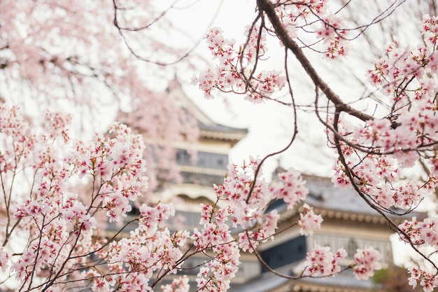 Cherrry bloesem of sakura bij kasteel matsumoto
