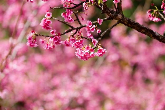 Cherry blossom en sakura behang