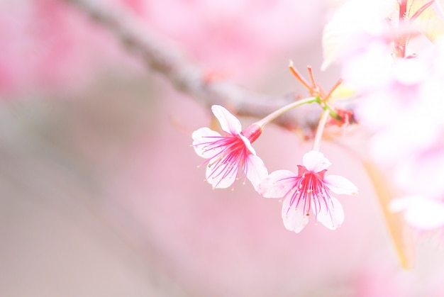 Cherry blossom in de lente met zachte nadruk