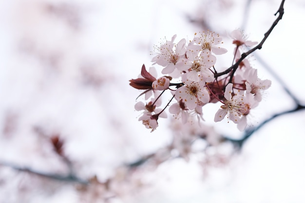 Cherry blossom of sakura-bloem op aardachtergrond.