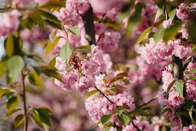 Cherry blossom of sakura-bloem