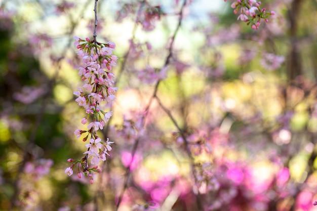 Cherry blossom - sakura-bloem - japanse kers, prunus serrulata