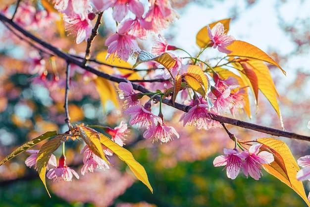 Cherry blossoms spring in chiang mai, thailand (wild himalayan cherry) bloeiend in de ochtend op het winterseizoen