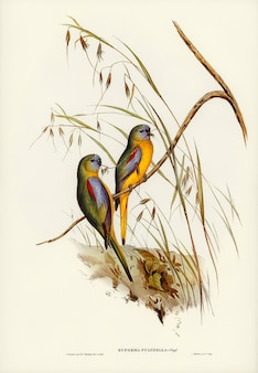Chestnut-shouldered grass-parakeet (euphema pulchella) geïllustreerd door elizabeth gould