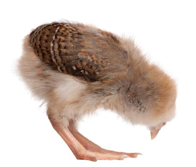 Chick, 13 dagen oud, bukt voorover