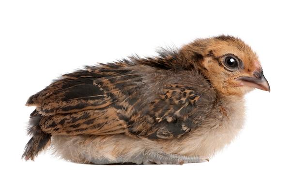 Chick, 13 dagen oud, zittend