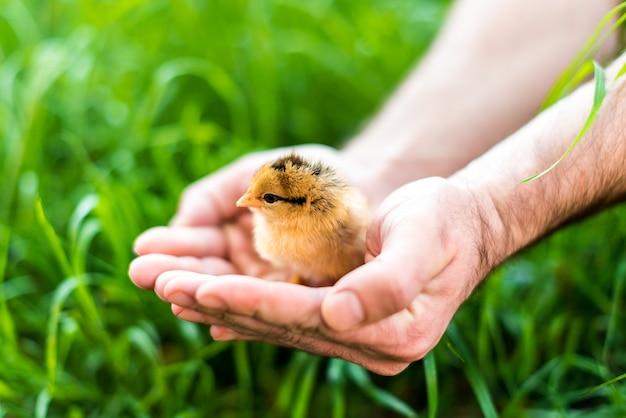 Chick in handen gehouden