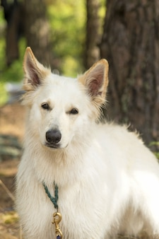 Chien berger blanc suisse in zomer bos