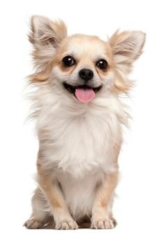 Chihuahua, 2 jaar oud, zittend