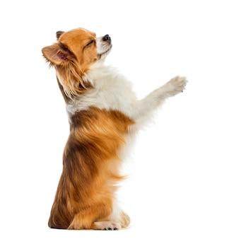 Chihuahua bedelen voor een witte muur