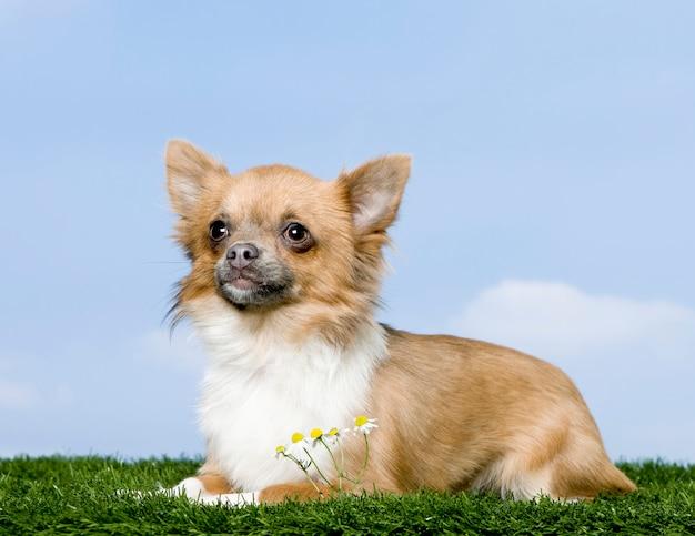 Chihuahua die op gras tegen blauwe hemel ligt