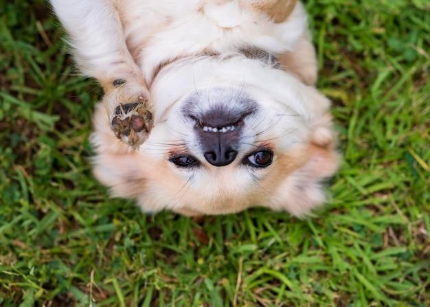 Chihuahua die op zijn rug in het gelukkige gras ligt