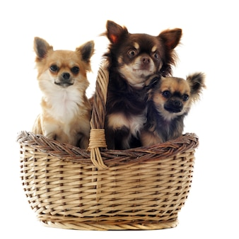 Chihuahua drie in een mand