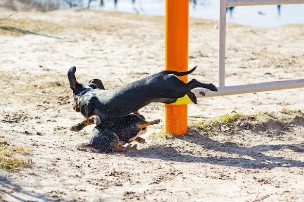 Chihuahua en teckel spelen in het zand. teckel en chihuahua zijn buiten. honden voor een wandeling