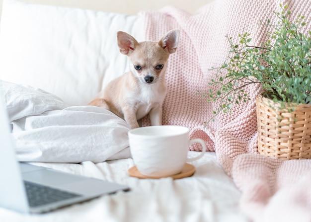 Chihuahua hond bedekt met deken met beker gooien