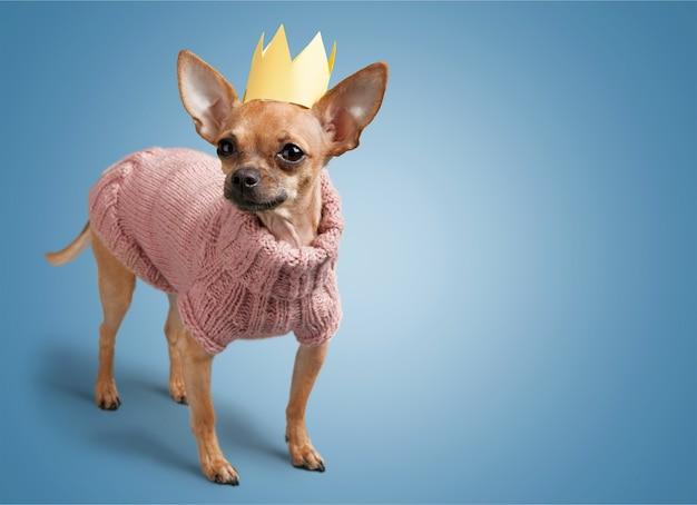 Chihuahua hond draagt trui op achtergrond