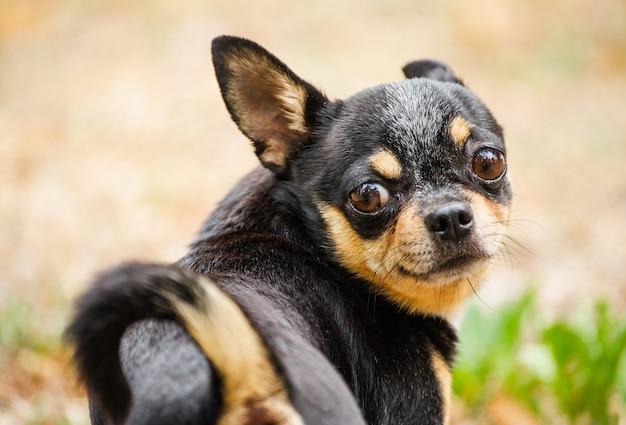 Chihuahua hond in de natuur