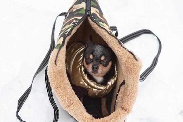 Chihuahua hond in een zak in de winter. chihuahua in een draagtas voor honden in de winter. chihuahua in kleding