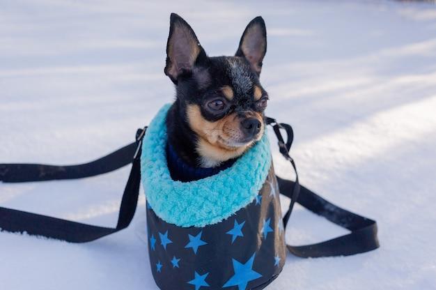 Chihuahua hond in een zak in de winter. chihuahua in een draagtas voor honden in de winter. winter concept