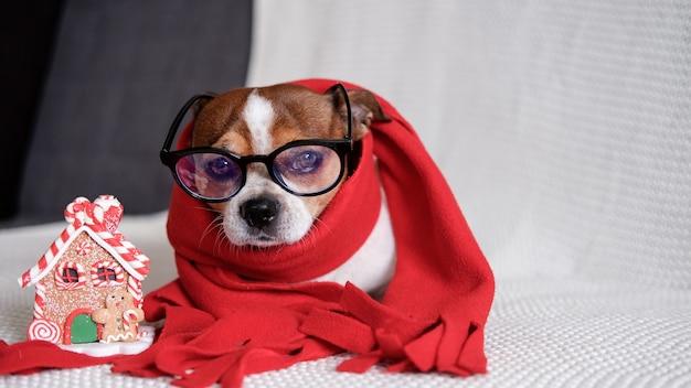 Chihuahua-hond in glazen en rode sjaal met peperkoekhuis liggen op de bus. vrolijk kerstfeest. gelukkig nieuwjaar.