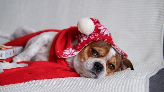 Chihuahua hond in kerstmuts en rode sjaal met kerstcadeau liggend op coach. vrolijk kerstfeest. gelukkig nieuwjaar. kerst dromen.