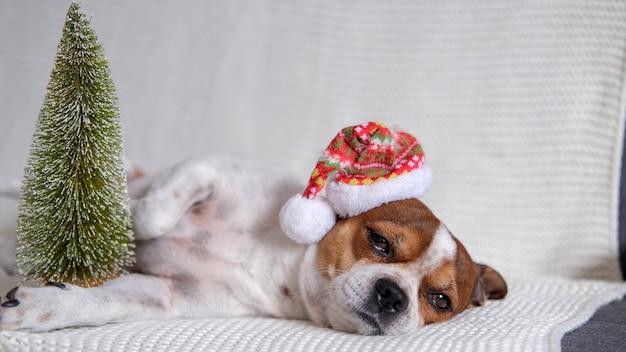 Chihuahua hond in kerstmuts met kerstboom liggen op coach. vrolijk kerstfeest. gelukkig nieuwjaar. kerst dromen.
