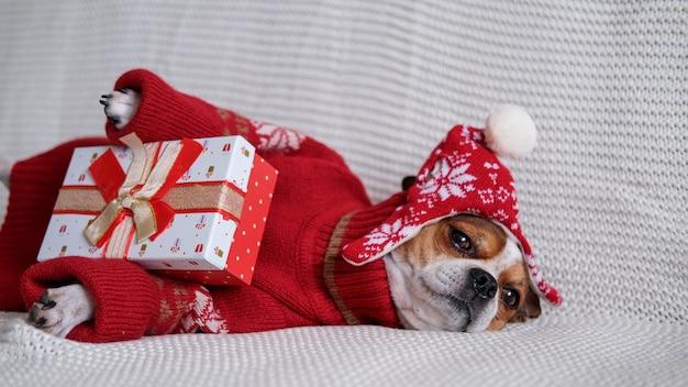 Chihuahua hond in kerstmuts rand en rode trui met kerstcadeau liggen op coach. vrolijk kerstfeest. gelukkig nieuwjaar. kerst dromen.