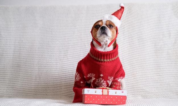 Chihuahua hond in kerstmuts rand en rode trui met kerstcadeau zitten op coach. vrolijk kerstfeest. gelukkig nieuwjaar. kerst dromen.
