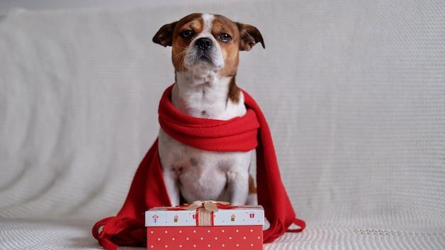 Chihuahua hond in rode sjaal met kerstcadeau zit op coach. vrolijk kerstfeest. gelukkig nieuwjaar. kerst dromen.