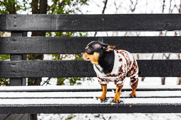 Chihuahua hond in winterkleren. chihuahua hond in winter overall voor honden.