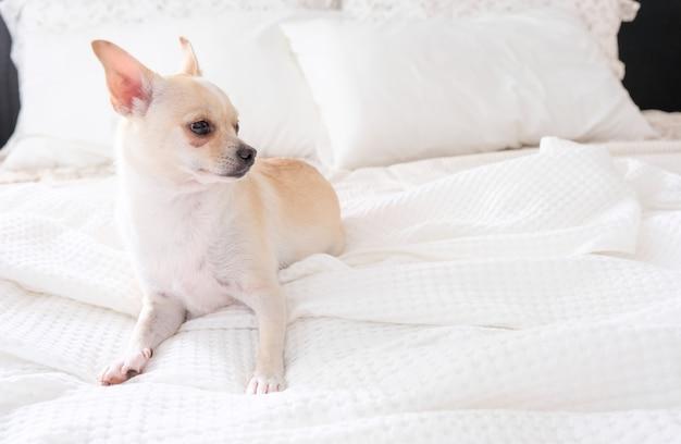 Chihuahua hond liggend op een bed met een wit vel.