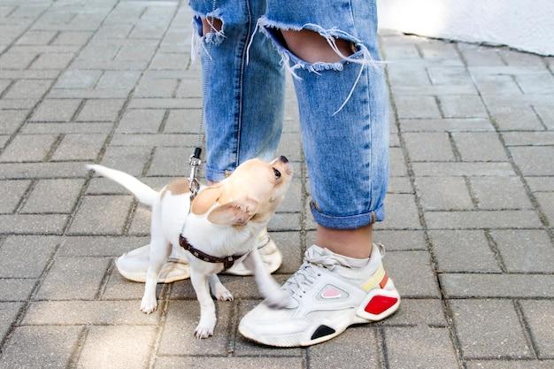 Chihuahua. hond op een wandeling. leuk hondje. vertrouwde vriend.