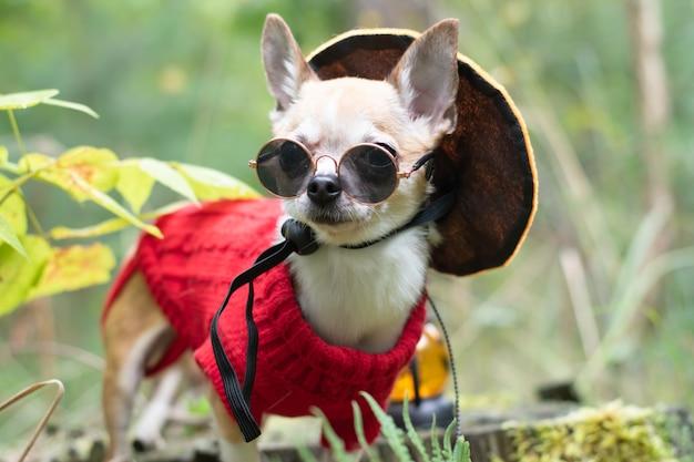 Chihuahua-hond op halloween-dag met een zwarte bril kijkt in de verte