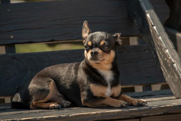 Chihuahua hond voor een wandeling. chihuahua zwart, bruin en wit. hond in de herfst wandelingen in de tuin of in het park. kleine hondenrassen. het huisdier moet buiten lopen. portret van een hond.