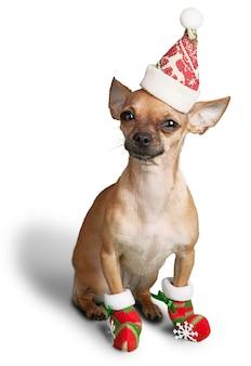 Chihuahua hond zit in kerstmuts op een witte achtergrond