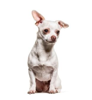 Chihuahua hond zit tegen een witte achtergrond