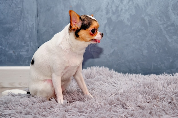 Chihuahua hond zittend op een grijze muur zijaanzicht.