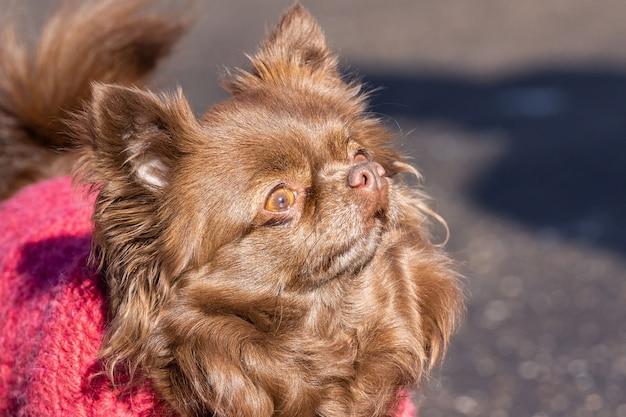 Chihuahua hondenpark